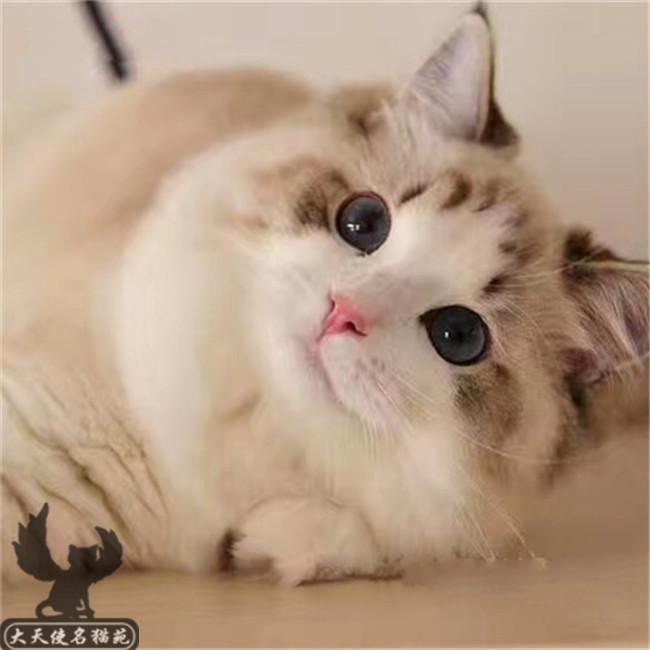 CFA猫舍出售布偶猫仙女猫活体幼猫优雅品种双色蓝眼