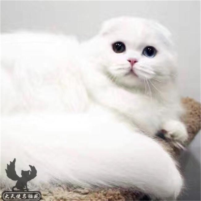 折耳猫活体金色宝宝折耳猫根折蓝猫苏格兰折耳宠物猫幼猫