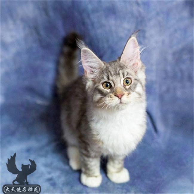 缅因猫活体巨型缅因猫灰猫活体纯种缅因幼猫活体宠物纯种健康