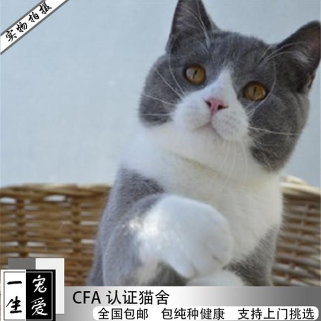 家养纯种英国短毛猫英短蓝猫小宠物猫咪幼猫活体低价萌宠幼崽