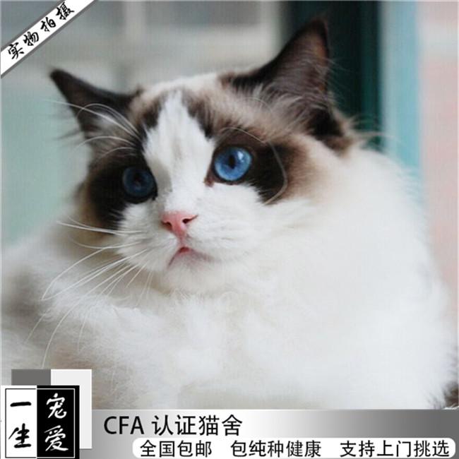 CFA注册布偶猫仙女猫活体幼猫纯种健康无病无藓铲屎豪门必备