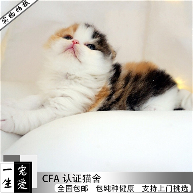 英短蓝白猫宠物猫纯种美短毛折耳猫英短蓝猫苏格兰折耳活体幼猫