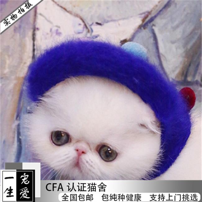 猫舍出售异国短毛猫加菲猫活体红小胖黄白纯白cfa纯种血统幼