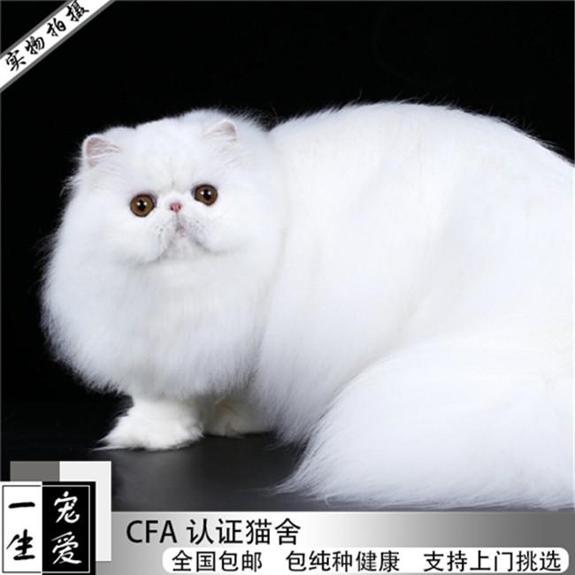 自家繁殖出售波斯猫幼猫幼崽出售黄白波斯猫纯种健康