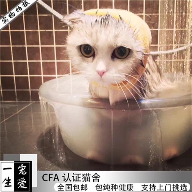 矮脚猫活体曼基康纯种宠物猫曼赤肯猫曼基康矮脚猫幼猫猫出售活