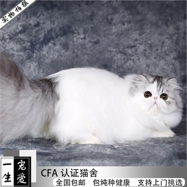 预售纯白色鸳鸯眼波斯猫活体纯种宠物猫小猫咪幼崽异国长毛猫