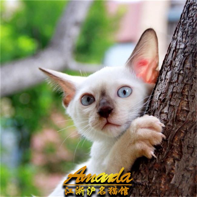 出售虎斑纹暹罗猫幼猫幼崽活体宠物猫纯种健康可签协议
