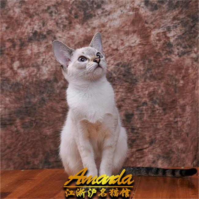 泰国暹罗猫活体淡紫色幼猫纯种加菲猫虎斑猫海豹色蓝眼迷你型小