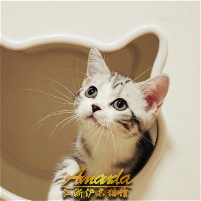 纯种美短小猫美国短毛猫幼猫活体宠物猫虎斑美短加白起司猫