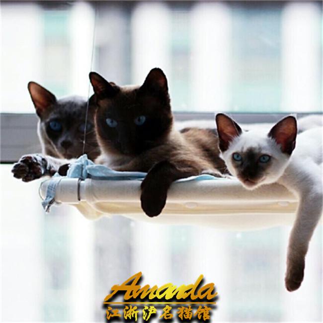 预售赛级纯种泰国暹罗猫活体宠物猫咪幼猫仙女猫幼猫活体