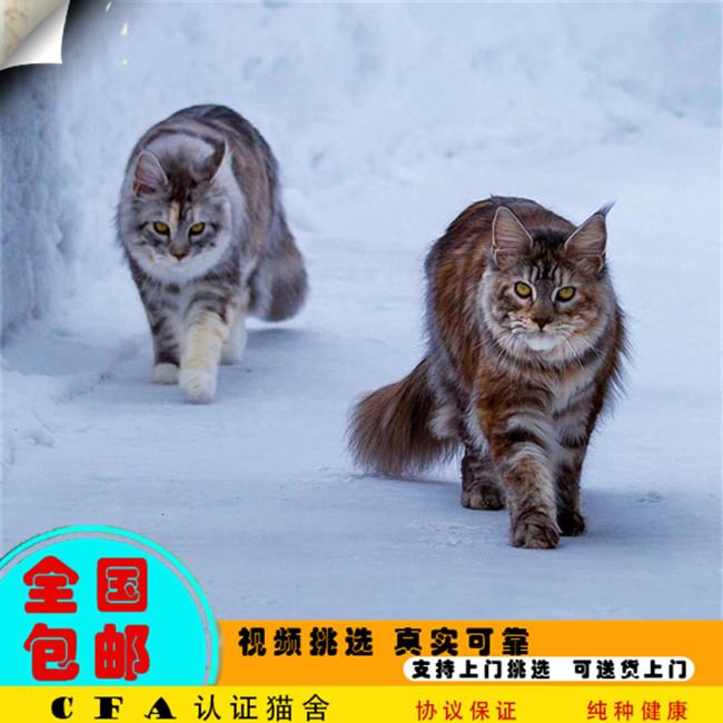 缅因猫活体纯种宠物猫喜马拉雅猫孟买猫挪威森林猫长毛猫长耳朵