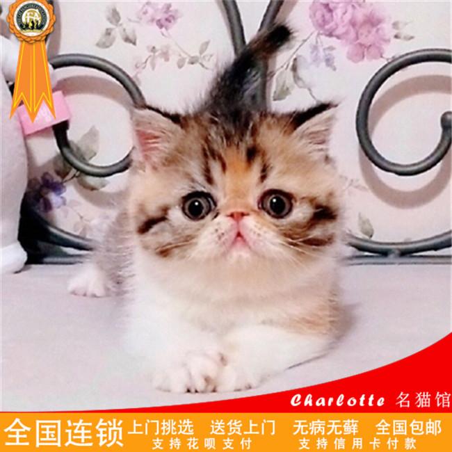 加菲猫活体纯种红白净梵幼崽异国短毛猫加菲猫幼猫3