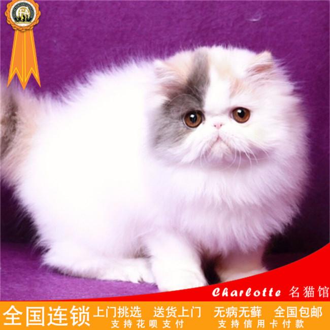 宠物猫波斯猫活体幼猫异国短毛猫纯种纯白波斯长毛加菲猫3