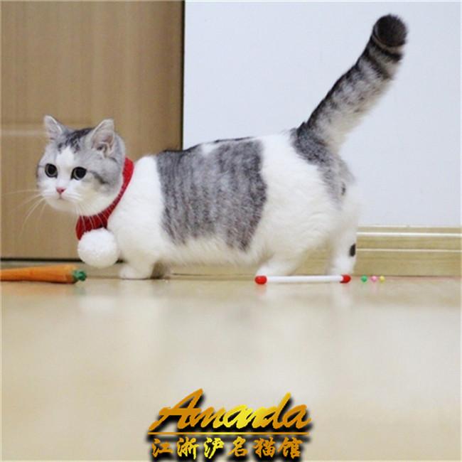 出售_出售宠物猫曼基康短腿猫活体猫幼猫幼仔猫咪拿破仑猫矮脚猫
