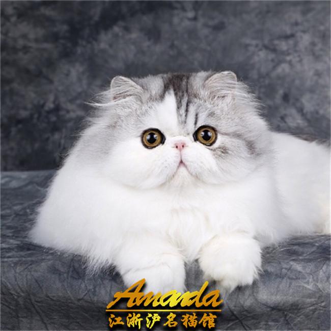 波斯猫 锡林郭勒波斯猫  主要品种:蓝猫,蓝白,银渐层,加菲猫,美短