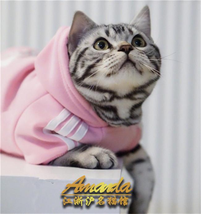 家养立耳折耳美短银虎斑纯种美国短毛猫银虎斑猫美短标斑加白起