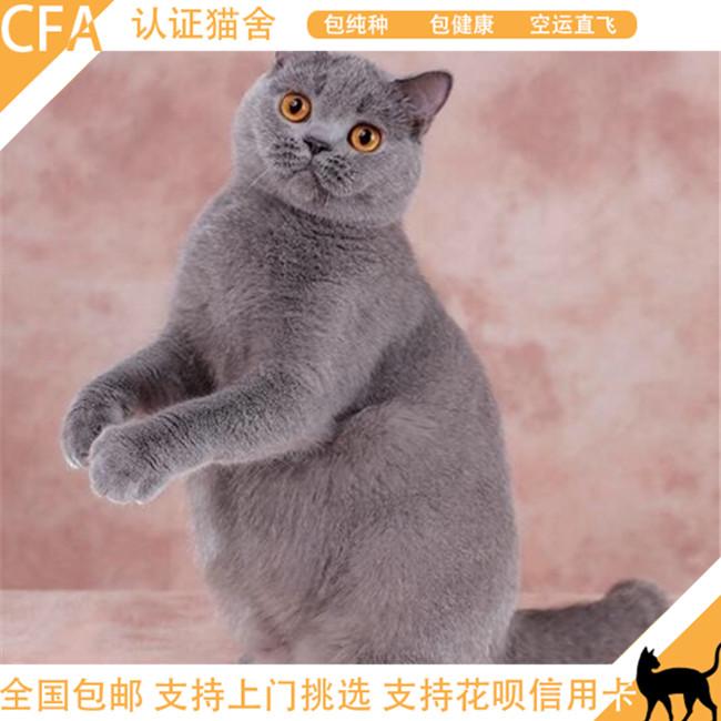 蓝猫活体幼猫家养小猫咪可爱大包子脸猫咪英短蓝猫纯种小猫咪家