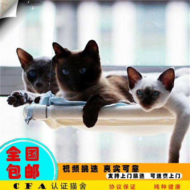 高品质纯种暹罗猫虎斑暹罗天蓝眼大耳朵最聪明的猫妹妹