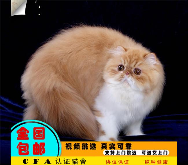 波斯猫幼猫波斯猫宠物猫活体可上门挑选提供饲养