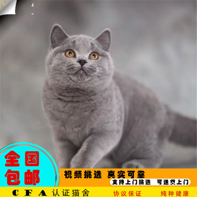出售纯种英国短毛猫活体英短蓝猫活体幼猫家养宠物猫活体小猫咪