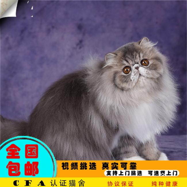 宠物猫咪活体异国短毛猫纯白色加菲猫布偶猫波斯猫缅因幼猫