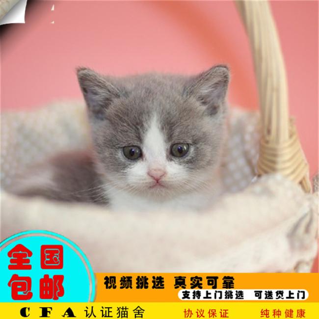 英短蓝猫幼猫宠物猫咪活体纯种英短蓝猫家养小猫咪活猫幼崽折耳