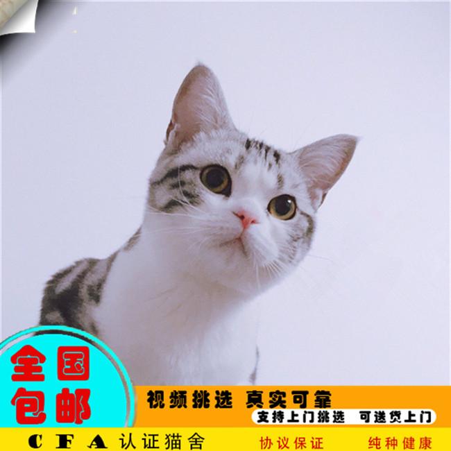 家养美短虎斑活体宠物幼猫自家繁殖美国短毛猫健康纯种可视频挑