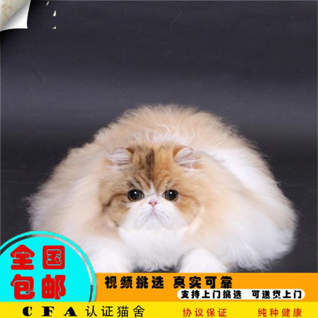 加菲猫波斯猫活体幼猫纯种宠物猫纯白长毛加菲猫加菲猫净梵活体
