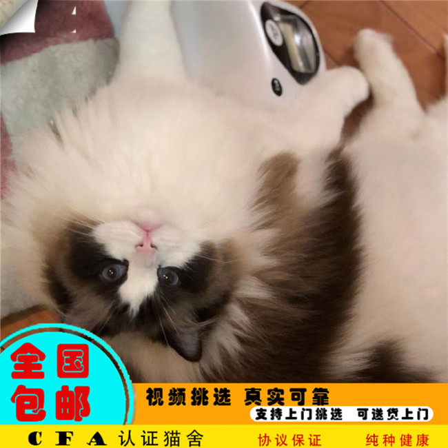 出售CFA注册赛级布偶猫仙女猫纯种健康优雅品种幼猫活体