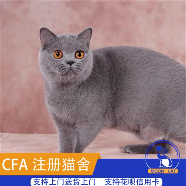 蓝猫活体幼猫纯种家养小猫咪大包子脸蓝胖子猫大眼睛猫英短蓝猫
