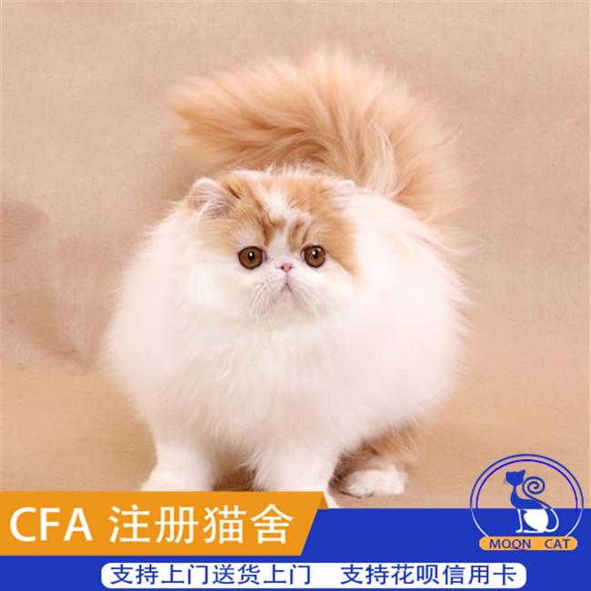 宠物猫活体猫咪迷你贵族纯种纯白色波斯猫小猫幼猫