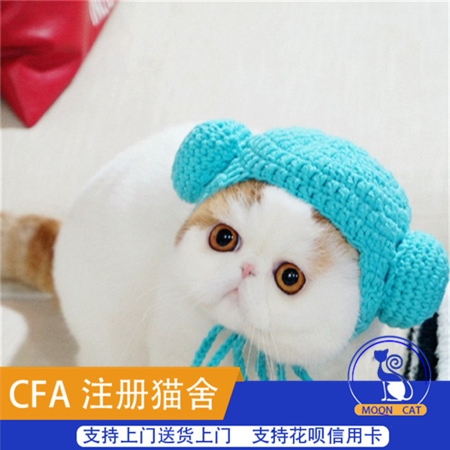预售纯种加菲猫幼猫宠物猫纯白蓝眼出售异国短毛猫波斯猫幼崽活