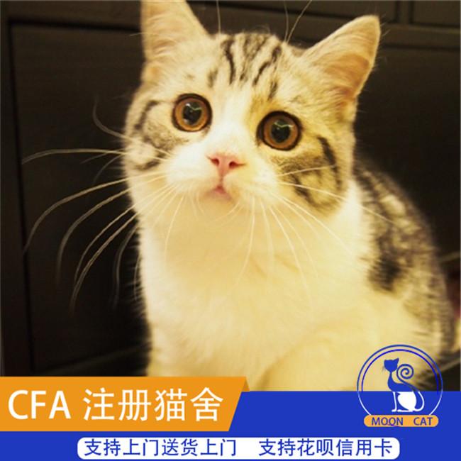 家养宠物猫咪活体美国短毛猫加白起司虎斑花纹清晰五粉美国短毛