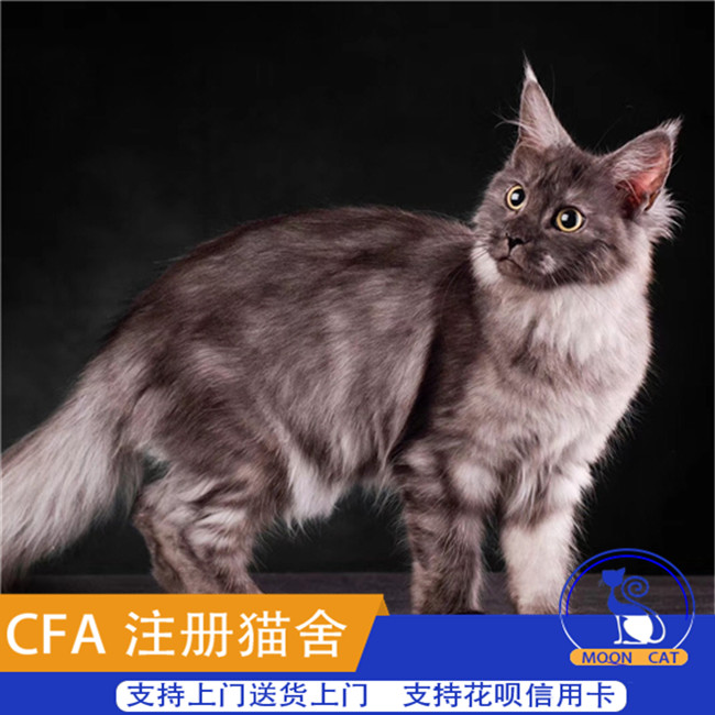 缅因猫活体巨型缅因猫灰猫活体纯种缅因幼猫活体宠物猫可上门挑