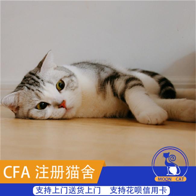 美国短毛猫家养美短标斑虎斑宠物猫纯种幼猫咪活体纯种健康萌宠