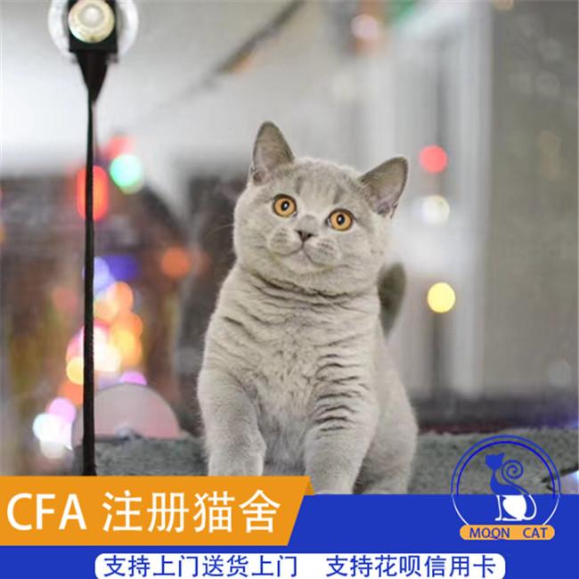 英国短毛蓝猫活体小猫英短蓝白纯种猫种苗家养猫包子脸幼猫