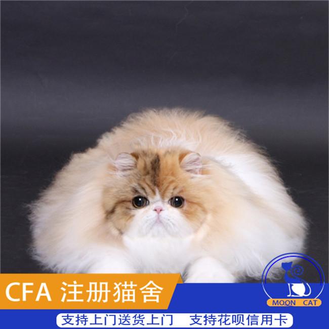 加菲猫活体幼猫纯种宠物猫咪小奶猫波斯猫折耳猫家养有血统证书