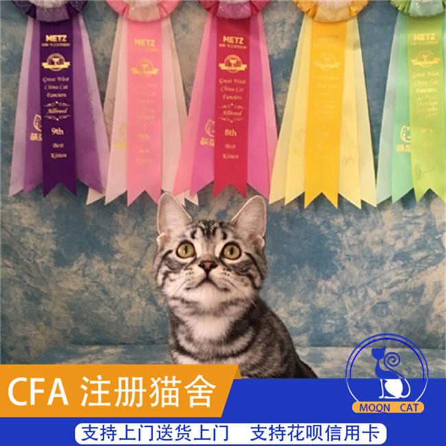 美国短毛猫虎斑加白美短虎斑猫标斑活体家养宠物猫咪活体银虎斑