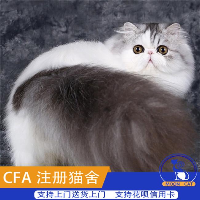 波斯猫活体异国短毛猫幼猫出售纯黑色波斯猫长毛系加菲大眼呆萌