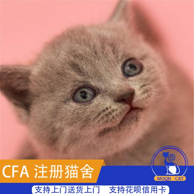出售英国短毛猫宠物猫咪活体纯种英短蓝猫幼猫家养小猫咪立耳