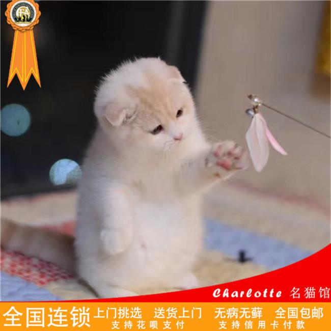 折耳猫家养纯蓝色苏格兰折耳猫幼猫折耳蓝猫活体幼猫宠物猫