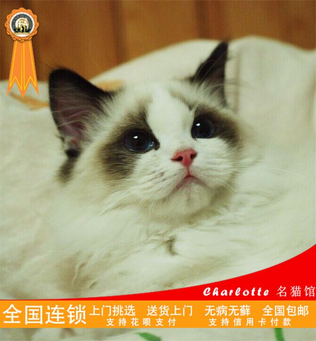 出售纯种健康可爱粘人优雅高贵布偶猫仙女猫幼猫活体