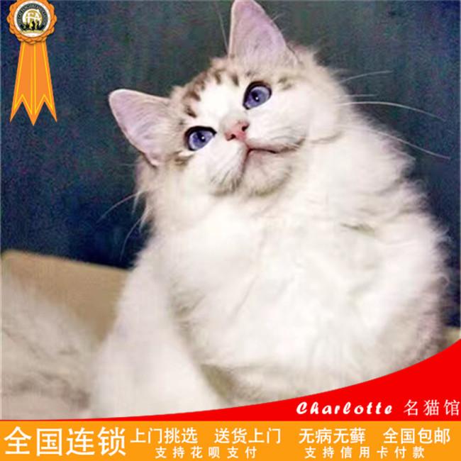 出售纯种家养双色布偶猫仙女猫高贵优雅品种