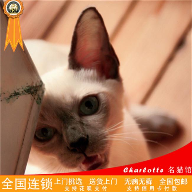 暹罗猫泰国猫蓝眼睛猫咪上海宠物巧克力猫挖煤猫可