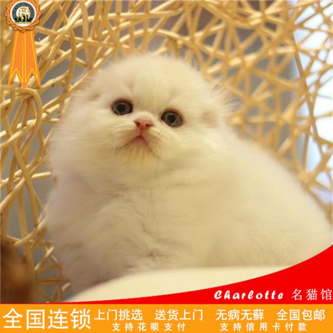 纯种宠物布偶猫活体小猫异短净梵加菲猫蓝猫蓝白美短加白折耳猫