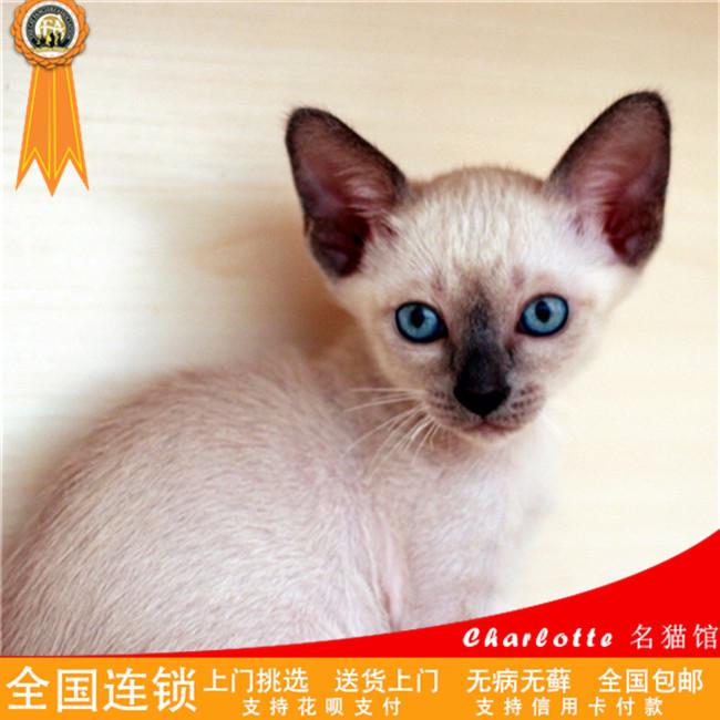 纯种暹罗猫活体宠物猫咪幼猫泰国猫海豹重点色暹罗猫咪