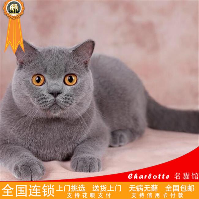 家养活体宠物小猫咪幼猫英短蓝猫蓝白纯种英国短毛猫杭州可送上