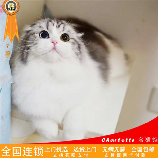 英短银渐层猫活体纯种苏格兰折耳猫宠物猫幼猫活猫幼崽小猫出售