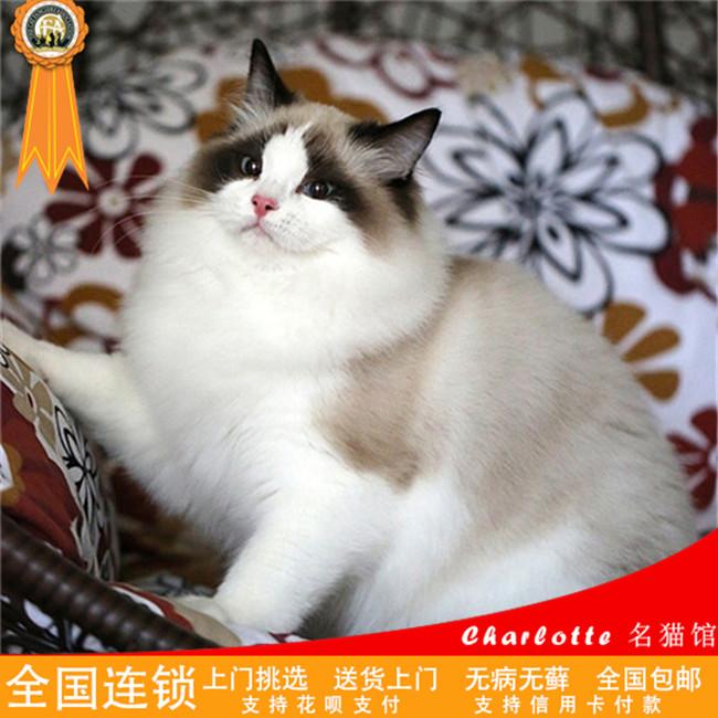 CFA认证猫舍出售纯种健康双色蓝眼布偶猫满耳满背无色块