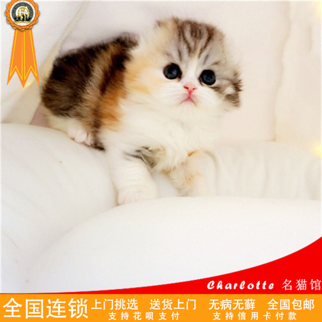 宠物猫活体折耳猫幼猫活体蓝猫加菲猫折耳猫幼猫动物种苗幼猫